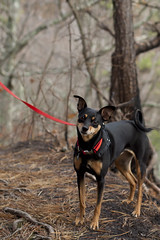dog breed, animal, praå¾skã½ krysaå™ã­k, dog, manchester terrier, pet, mammal, miniature pinscher, pinscher, toy manchester terrier, english toy terrier,