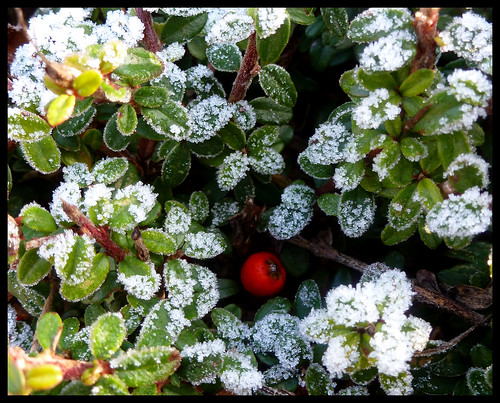 Frost with Berry