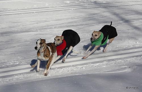 Kenzie, Micra und Camaro beim Whippettreffen Kaunertal