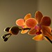 Project 365 - Day 27 - Orchids