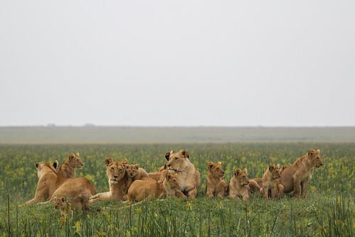 kenya lion masaimara 2013 maasaimaranationalreserve kicheche themara olareorokconservancy kichechebushcamp themarshpride olaremotorogiconservancy