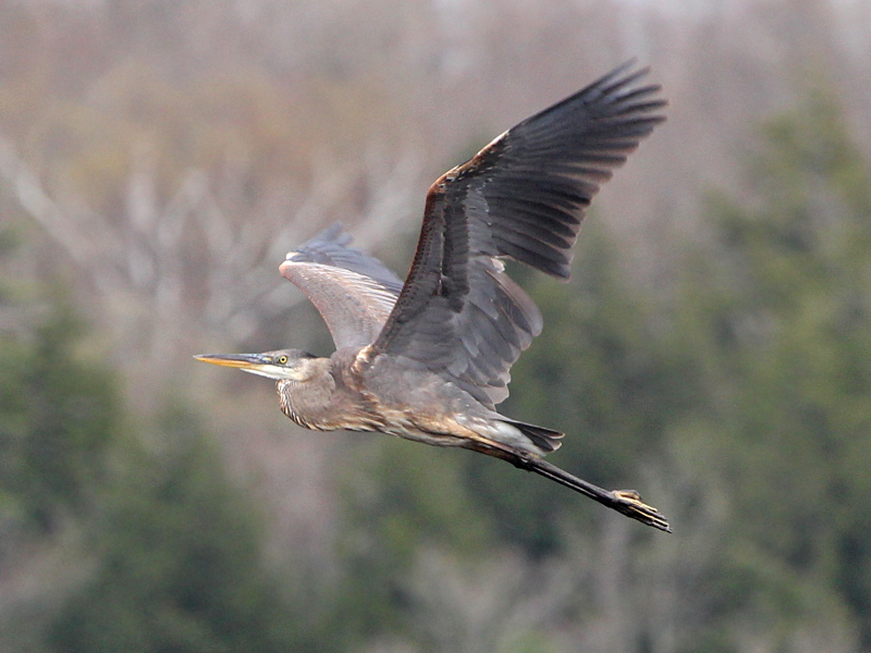 Great Blue Heron; Ardea herodias