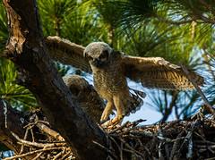 IMGL0895 Great Horned Owl Babies - 6 weeks old
