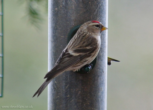 MealyRedpoll_TheLodge_9Feb13_bird1_b