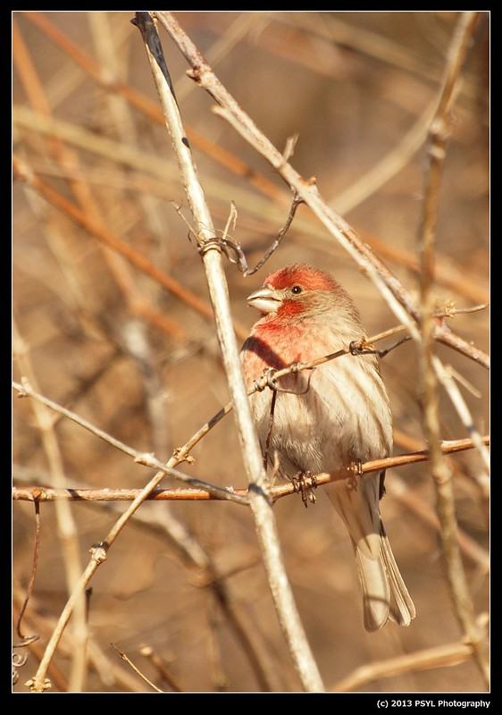 Purple Finch (Haemorhous purpureus)