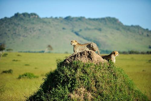 Gepardbröder