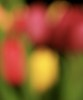 046/365: Fri 15th Feb 2013_Tulip Blur by rubygirl22