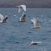 Glaucous Gulls (Peter Dunn)