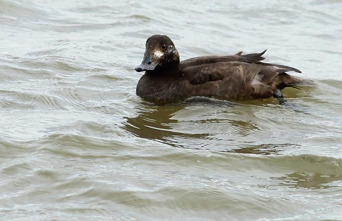 White-winged Scoter by Karen Bonsell