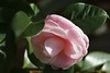 This macro of the Camellia was taken with the mini beercan(Minolta 35-70 f4).