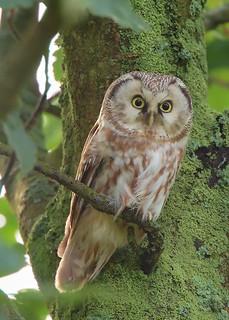 Pärluggla / Boreal Owl