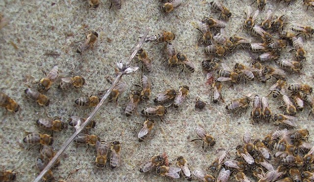 Albine sacagite