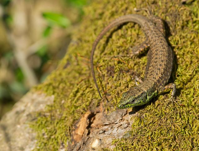 Balkan wall lizard Podarcis tauricus 3