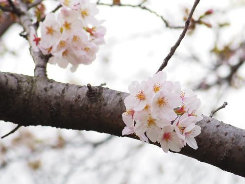 Sakura bloom in Tokyo 01