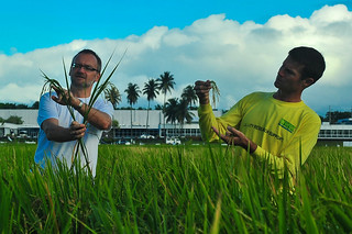 Achim Dobermann and Leigh Vial examine the grains of the rice plants
