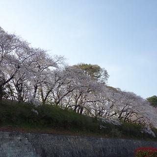駿府公園の桜はこんな感じ。ほぼ満開。