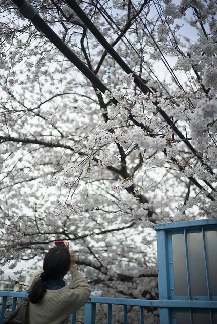 中野通りの桜4