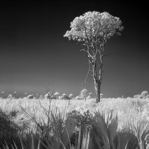 blackandwhite bw usa tree landscape ir florida explore infrared titusville hdr flowersplants centralflorida merrittislandnationalwildliferefuge minwr