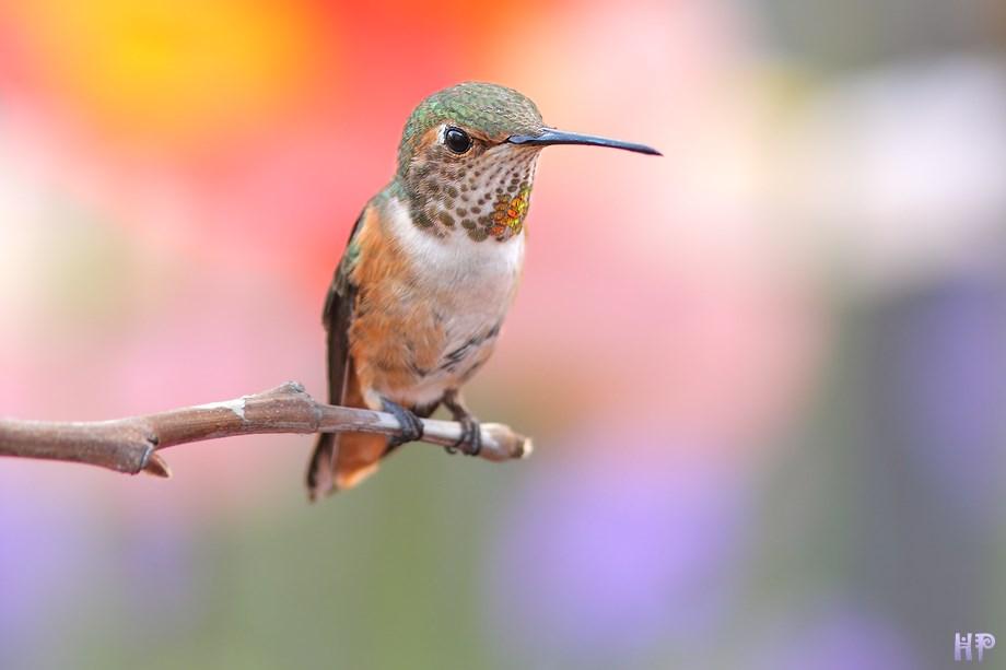 Allen's Hummingbird 032813