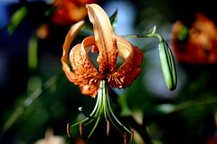Tiger-Lilie (Lilium lancifolium)