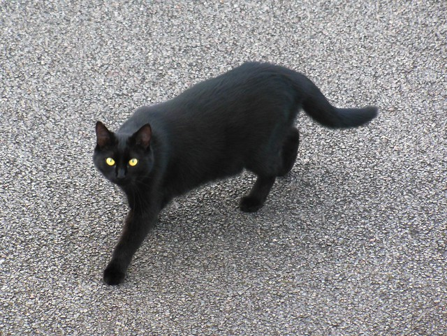 Chat noir en tourn, Nikon COOLPIX S9300