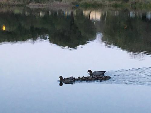 More Ducklings
