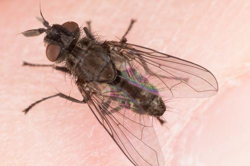 Ugly scraggy fly.  Paropsivora sp.
