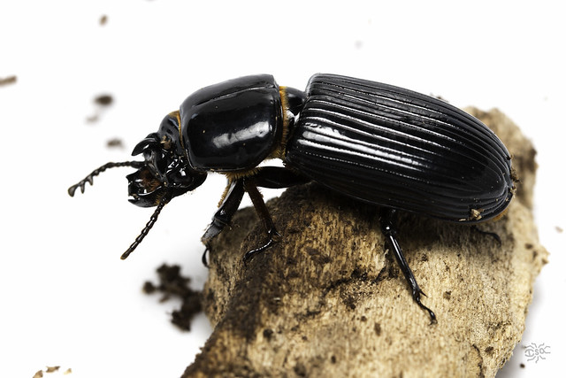 Black Bess Beetle rests on a dead piece of wood.
