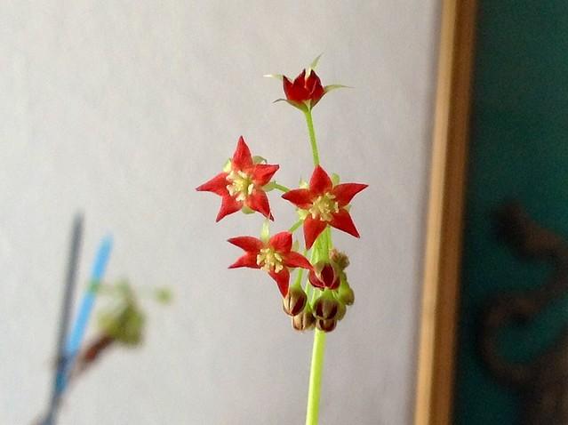 D. Adelae flor