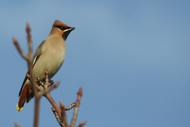 Waxwing- Up Above the World so High