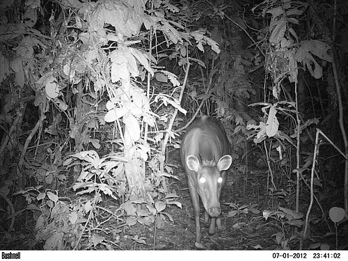 a male yellow back duiker