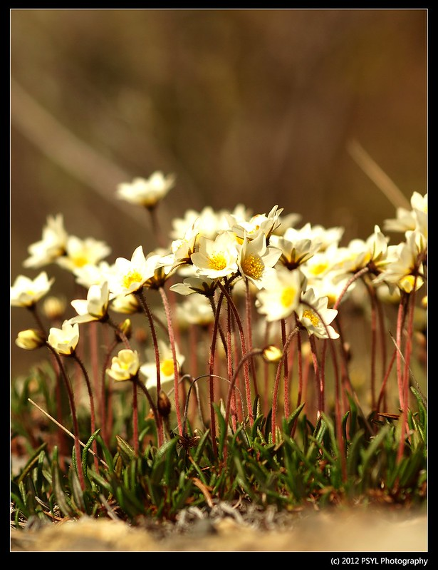 Mountain Avens (Dryas integrifolia)