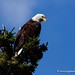I'm Bald and I'm Proud - Alaskan Bald Eagle by My Planet Experience