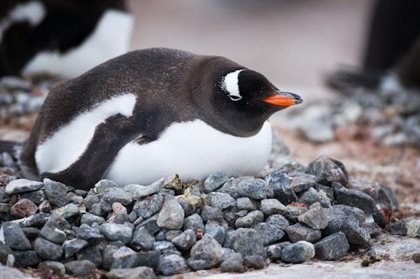 RYALE_Antarctica_Penguins-42