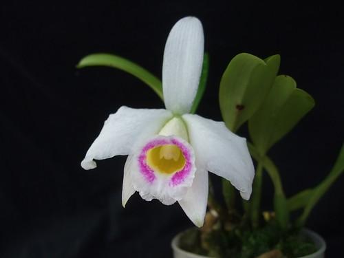 Laelia praestans semi-alba  by Brigitte0102