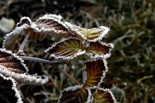 Frosty raspberry leaves