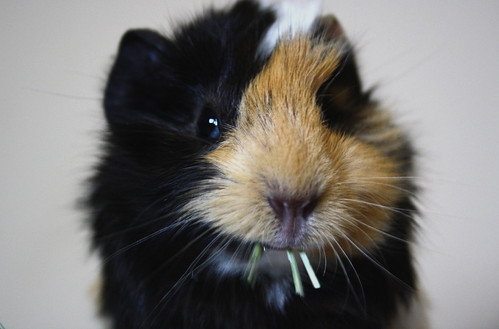 nacho the guinea pig. by mariacasa