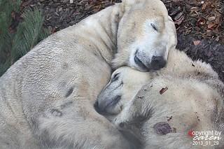 Eisbären Giovanna&Yoghi 2013_01_30 443