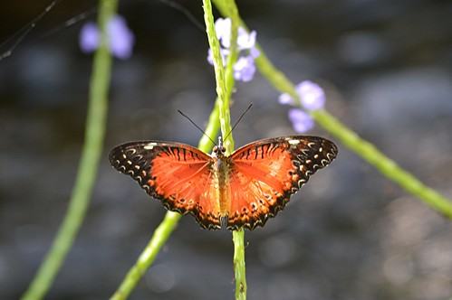 Brilliant Red or Common Lacewing climbs the stem of a purple Porterweed by jungle mama