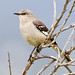 Northern Mockingbird - Photo (c) BJ Stacey, some rights reserved (CC BY-NC)