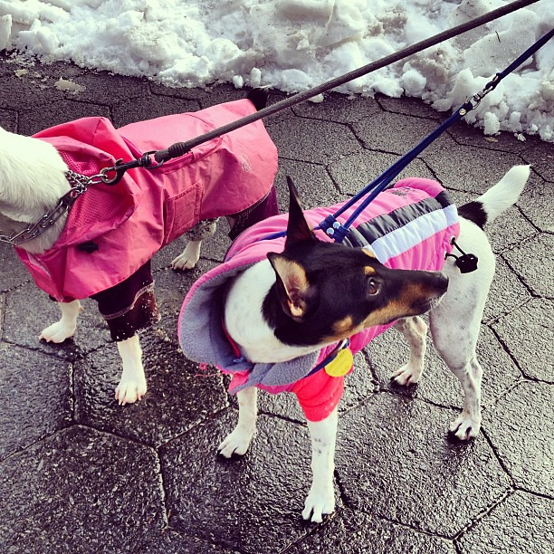 Dogs in pink snow coats for Nemo blizzard NYC