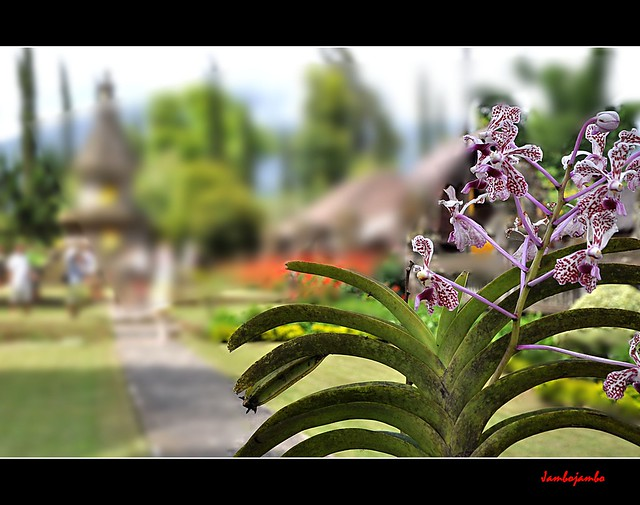 Bali: Le orchidee del tempio - Orchids of the temple