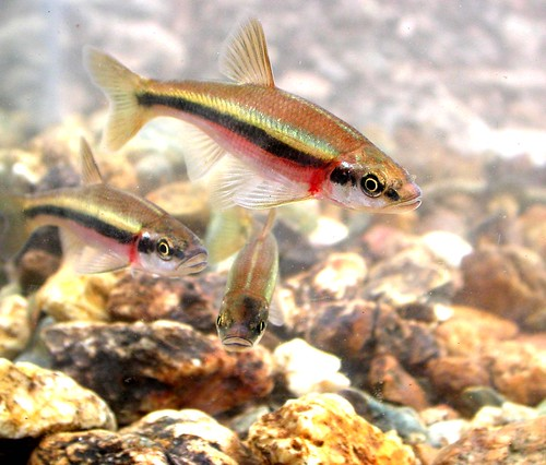 Image of Rosyside Dace swimming in a stream.