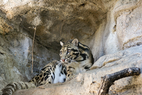 Clouded Leopard by particlecat