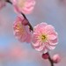 weeping plum blossoms