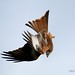 Black Mountain Red Kites__059 by RCS Photography