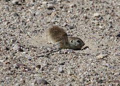 Cautious Round-tailed Ground Squirrel
