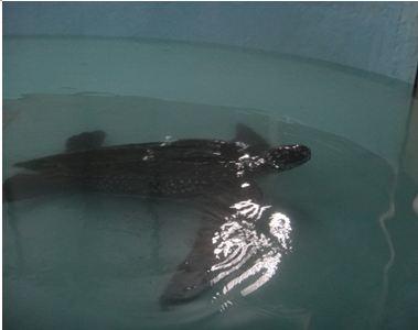 復健池中的革龜