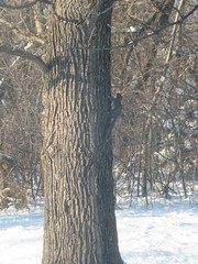 LITTLE SQUIRREL, BIG TREE