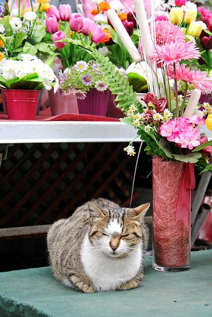 A cat napping under the flowers, Edirne, Turkey エディルネ、花の下でまどろむネコ